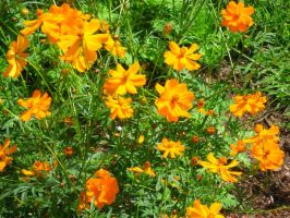 Coreopsis by crazygardener