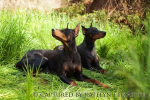 IncredibleDobermans Diva + Gracie by KateIndeed