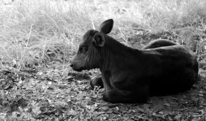 A Beautiful Baby Calf by Puppers1