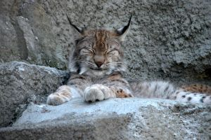 Lynx in Moscow ZoO by GrinnDeSoll