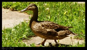 26.05.2012 Ducks 15 by Mildy