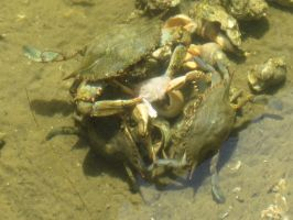 Blue Crab and Long-Clawed Hermit Crab 7 by AxelHonoo