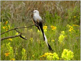 Scissor-Tail Flycatcher May by SuicideBySafetyPin