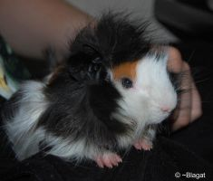 Baby Guinea Pig by Blagat