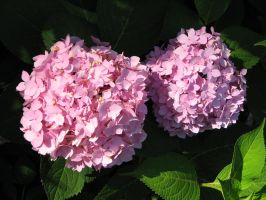 Pink Hydrangea by Autumn-Gracy