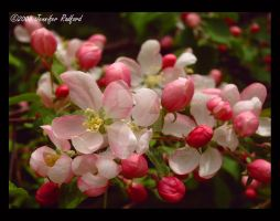 Apple Blossoms II by Jenna-Rose