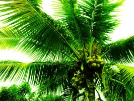 Coconut Dwarf Tree by aMorle
