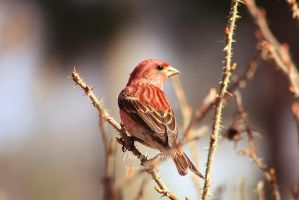 Purple Finch by Sagittor