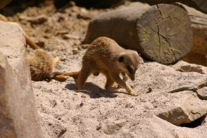 Meerkats IV by expression-stock