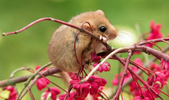 Dormouse by lordfreedom