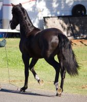 STOCK - 2014 Andalusian Nationals-15 by fillyrox