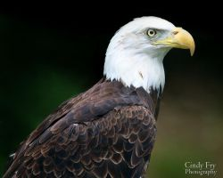 Bald Eagle by lost-nomad07