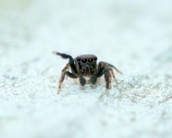 Super tiny Salticidae by duggiehoo