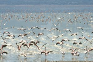 Flamingoes flying by itchyfeet14