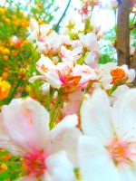 white/pink flowers by dyzemra