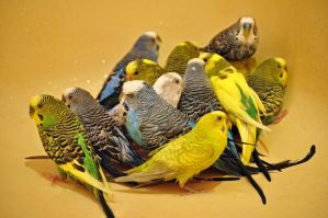 All fourteen of my budgies in the bathtub together by PsychoticParakeet