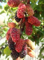 Mulberries by sassin