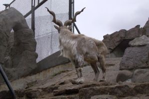 Markhor 2 by Panopticon-Stock