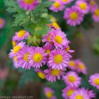 Chrysanthemum VIII by larksgar