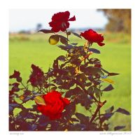 morning rose by MarioDellagiovanna