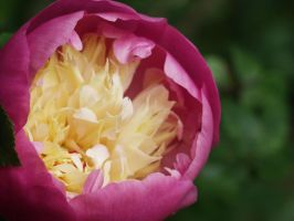 Pink Flower Macro by Thaylien