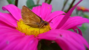 Moth On Painted Daisy by PamplemousseCeil