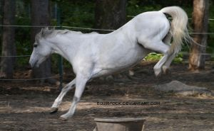 Welsh Pony by equustock