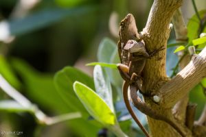 Brown anoles mating by CyclicalCore