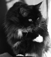 Black and White Maine Coon by olsons39