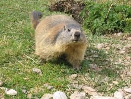 Wild animal stock 103 - marmot by Momotte2stocks
