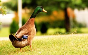 Mr Mallard by Grandparob112