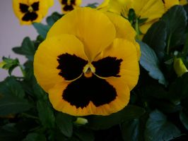 Yellow Pansy Flower Stock by Enchantedgal-Stock