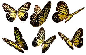 Butterflies 5 PNG Stock by Roys-Art