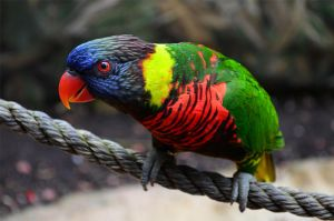 Lorikeet 2 by PSauburnchick12