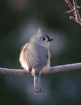 Frosted Titmouse by barcon53