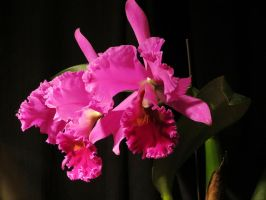 Cattleya Orchid by Kitteh-Pawz