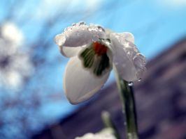 Water Drops on Snow Drop by misshoneywoo