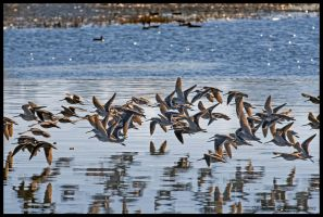 Sandpipers by AirshowDave