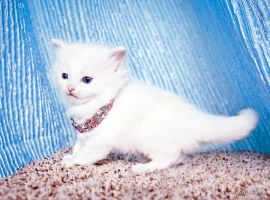 white ragdoll kitten by venomxbaby