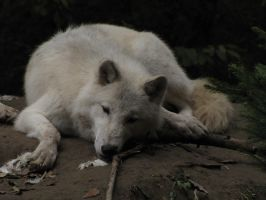North American Arctic Wolf 37 by animalphotos