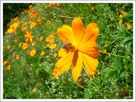 Yellow's flower bee by pirulacidos