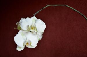 Moth orchid by Eatmyblackcancer