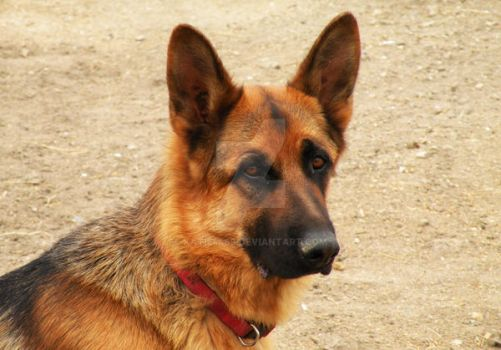 German Shepard by katie4469