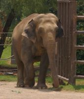 Asian Elephant - 9 by OverStocked