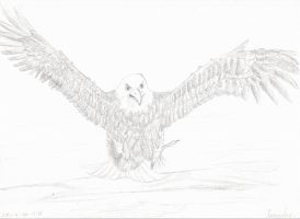 the bald headed eagle by kedrednael