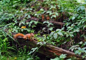Red Squirrel by Tephra76