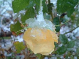 yellow rose in the snow by loghry