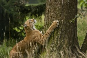 Grana 15 - Lynx 09 by Dark-Wolfs-Stock