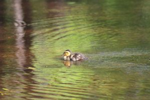 Duckling12 by eillahwolf
