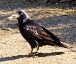 Black Crow 5 by Avahlon-Stock